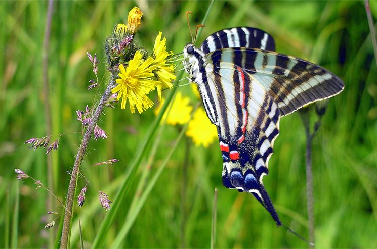 Tiger Swallowtail Butterfly, Roan Highlands