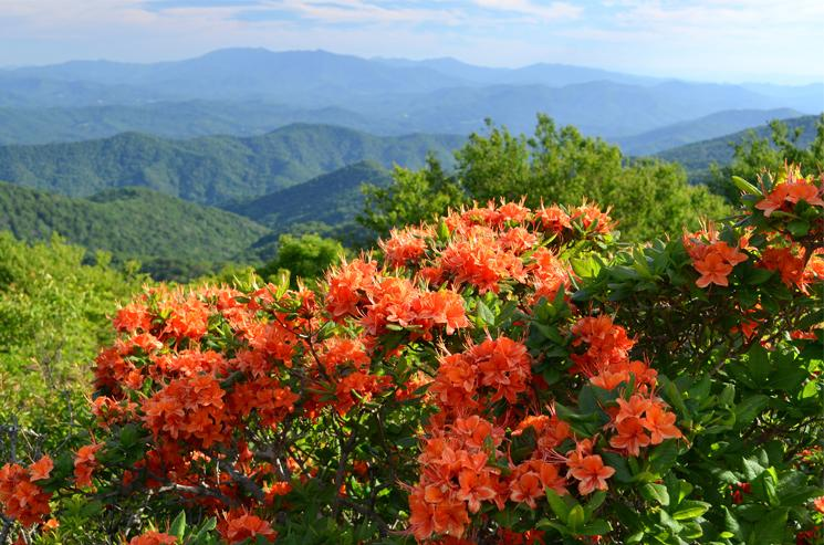 Flame Azaleas and a view of the Blue Ridge Mountains, Roan Highlands
