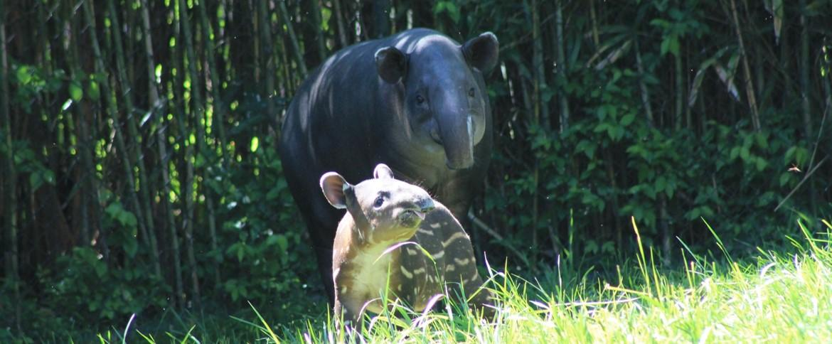 The Nashville Zoo is home to a family of three Baird's tapirs: JuJu is the mother of two male calves, Tybalt is her first (nearly two years old), and the recent addition, Kuzco, was born in March born on March 7th.