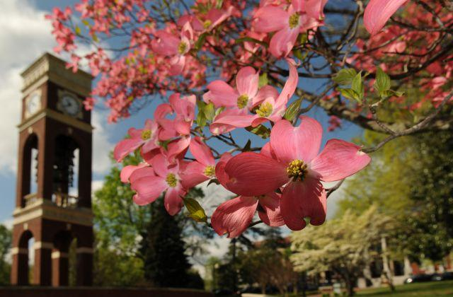 dogwood with bell tower