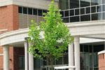 Recently planted Sycamore beside the new Center for Physical Activities, ETSU.