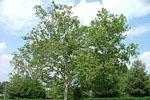 Medium sized Sycamore tree in spring, growing in parking lot near ETSU Public Safety Office and University Parkway.