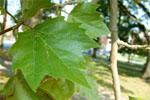 The leaf of the Sycamore is broad and lobed, resembling the leaves of some maples.