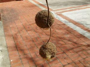 Fruits of the hybrid London Plane Tree are arranged with two to three seed balls per stalk.